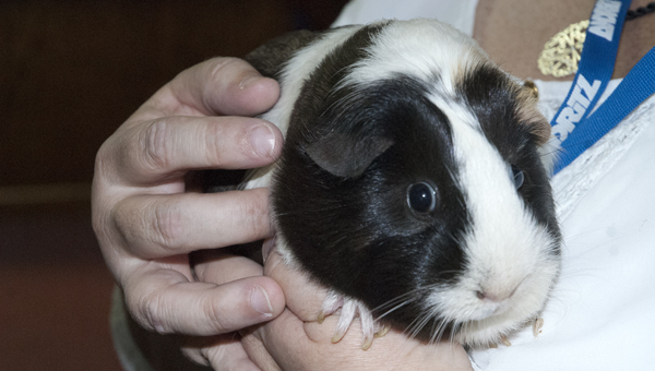 The Demopolis Public Library staff members hope a new pet guinea pig will be a draw for kids to come by the library this summer.