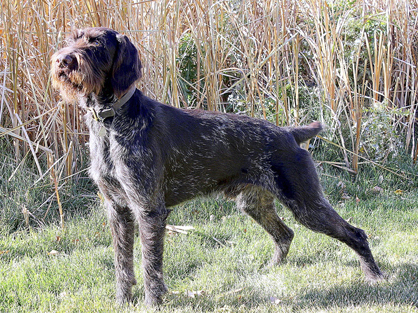 Deutsche Drahthaar dogs are known as versatile hunting dogs.