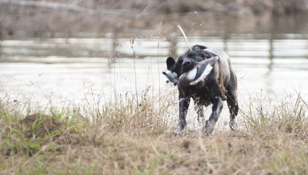 """""""Rooster"""" retrieves a decoy from a pond on Blackbelt Retrievers property."""
