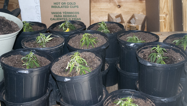 The 17th Circuit Drug Task Force seized 60 marijuana plants in a bust in Sumter County on Wednesday.