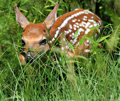 The Alabama Department of Conservation and Natural Resources is asking the public to leave seemingly abandoned, lost or orphaned fawns in the wild if found. Before picking up an injured or orphaned fawn, the nearest rehabber permitted to handle deer should be contacted. (Photo by Durward Henderson, ADCNR.)